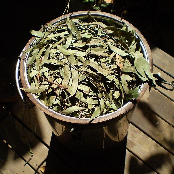 599px-Eucalyptus_olida_distillation1